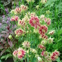 Aquilegia 'Nora Barlow' - May 2008 (Aquilegia vulgaris (Columbine))