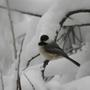 Chickadee_in_snow