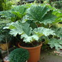 Gunnera manicata in a pot (summer 2010)