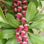 Pieris_japonica_passion_