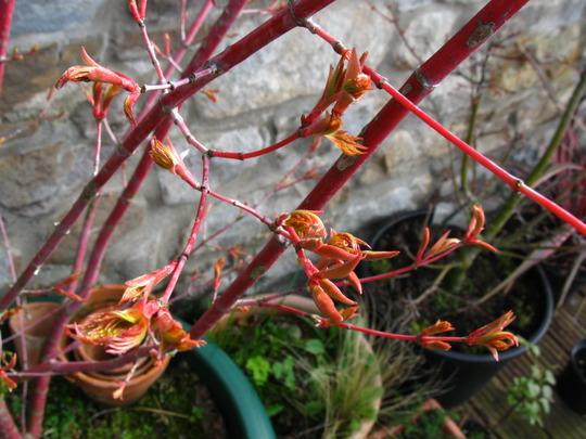 Acer buds (Acer palmatum (Japanese maple))
