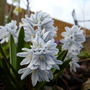 Chionodoxa  Puschkinia
