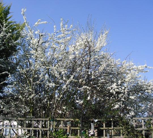 Blossom on the Plum tree