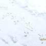 These are the tracks of the wild turkeys