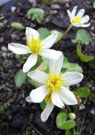 Caltha palustris var alba - 2011 (Caltha palustris)
