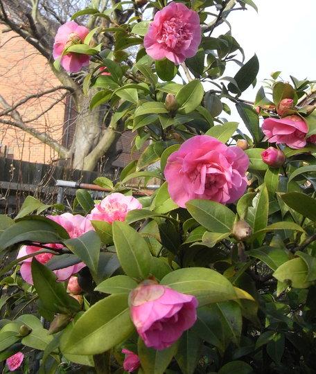 Camellia (pink) - 2011 (Camellia)