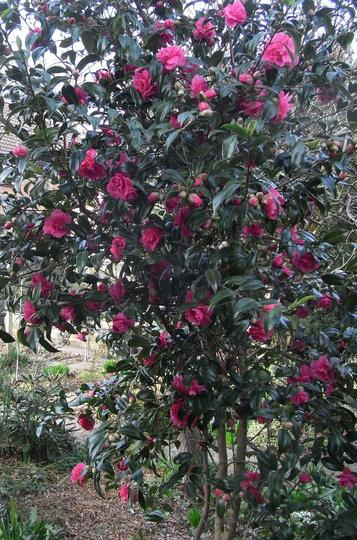 Camellia (red) - 2011 (Camellia)