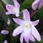 Chionodoxa_luciliae_pink_giant_2011