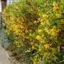 yellow forsythia  (Forsythia intermedia (Forsythia))