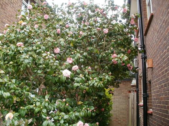 pink camellia (Camellia)