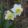 Narcissus canaliculatus. (Narcissus canaliculatus)
