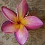 Plumeria 'Duke' Makes Great Cut Flower (Plumeria rubra 'Duke')