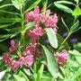 Kalmia_angustifolia_rubra_