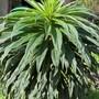 Echium pininana (Echium pininana)