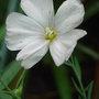 Linum perenne - white form (Linum perenne)