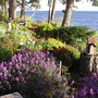 Bowles Mauve (Erysimum bicolor (Bowles' perennial wallflower))