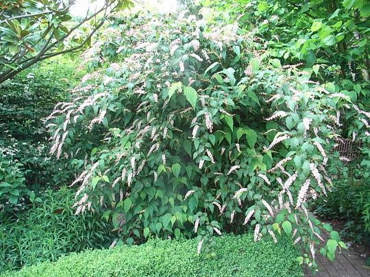 Neillia thibetica (Neillia thibetica)