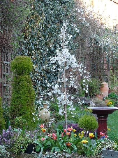Prunus - Snow Showers (Prunus)