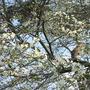 Greengage plum (Prunus domestica (Plum))
