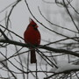 Cardinal During March 23rd Snowstorm