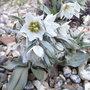 Fritillaria_bucharica_2011