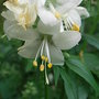 Polemonium caeruleum - white form (Polemonium caeruleum (Jacob's ladder))