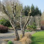 Pruned_catalpa_rosemoor_23_march_2011