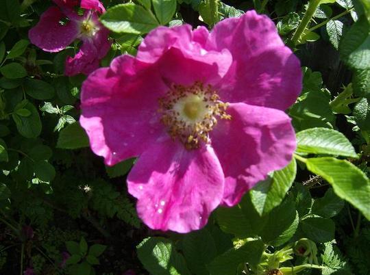 Rose - Rosa Rugosa
