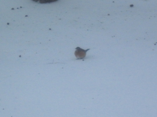 Fat robin eating birdseed