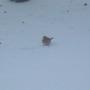 Fat robin eating birdseed