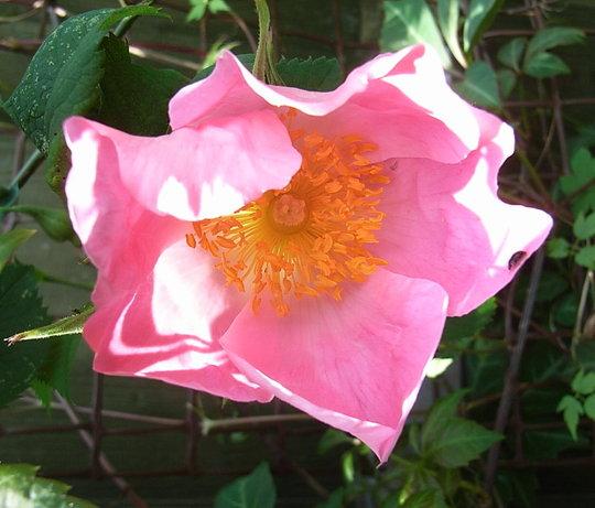Rosa 'Complicata' (Rosa 'Complicata')