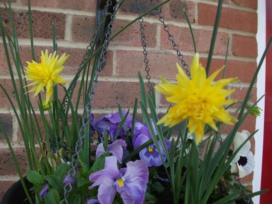 Narcissus Rip Van Winkle (Narcissus Rip Van Winkle)