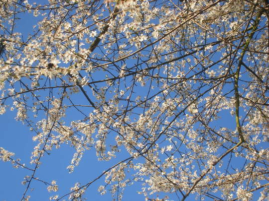 Cherry Plum in full bloom