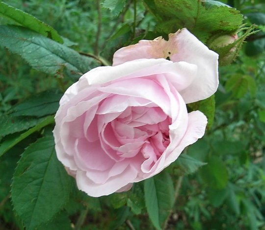 Rosa 'Gloire des Mousseux' (Rosa 'Gloire des Mousseux')