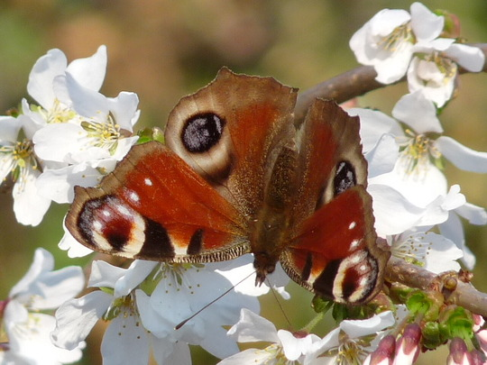 Peacock butterfly enjoying the cherry blossom. (prunus)