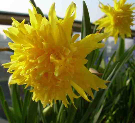 Narcissus Rip Van Winkle (Narcissus pumilus)