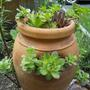 Strawberry pot - Houseleeks ( hens and chics ) and Sedum