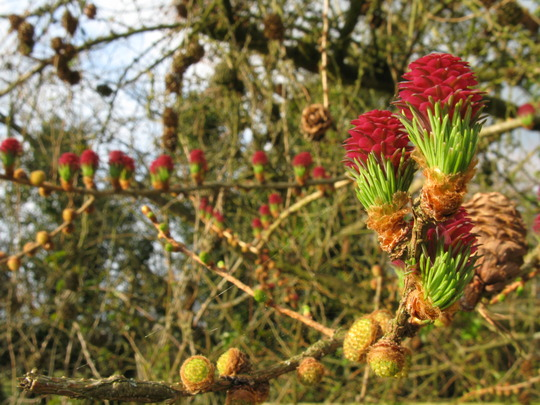 Larch Larix buds