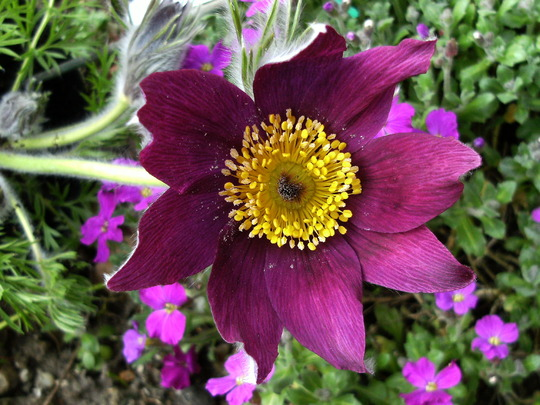 Pulsatilla ' Bells Red '