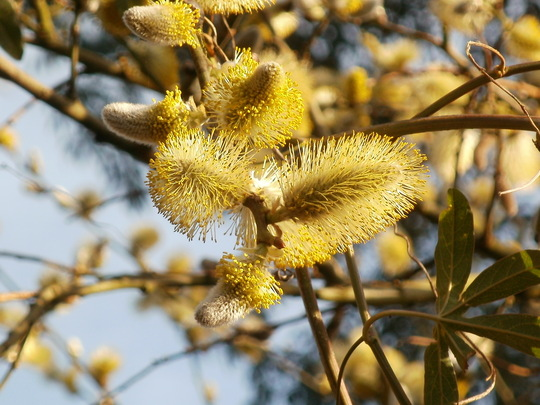 male catkin of a goat willow. (Salix caprea (Palm Willow))