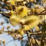 Salix caprea (Palm Willow)