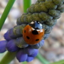 Ladybird on Muscari (Muscari armeniacum)