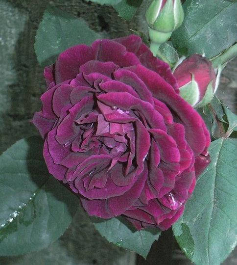 Rosa 'Souvenir Du Docteur Jamain' (Rosa 'Souvenir Du Docteur Jamain')