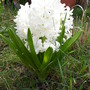 Hyacinths in lawn.... right out now...