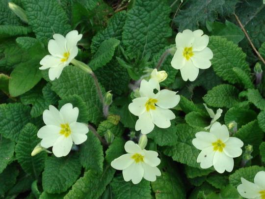 Primroses....spring is definitley here!