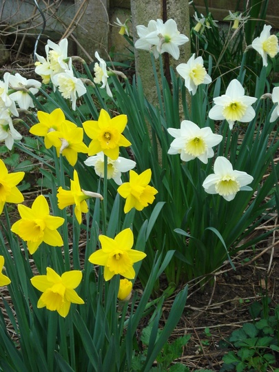 'A host of, well some ,golden daffodils