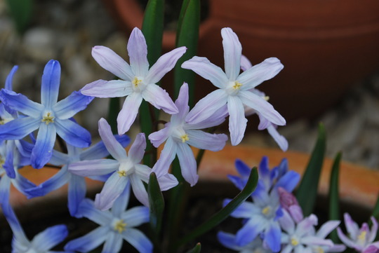 Chionodoxa Luciliae Pink Giant. (Chionodoxa luciliae (Glory of the snow) Pink Giant.)