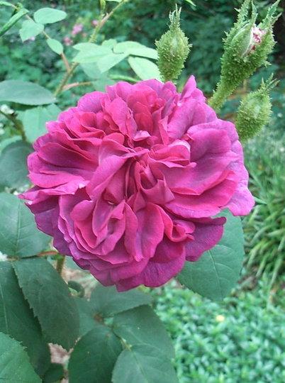 Rosa 'William Lobb' (Rosa 'William Lobb')