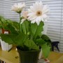 my newest purchase...white gerbera with brown center...I just couldn't resist!