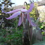 Erythronium hendersonii - 2011 (Erythronium hendersonii)